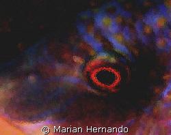 Eye abstract, a blueside wrasse. Taken in Siladen, Manado... by Marian Hernando