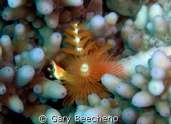 Christmas tree worm by Gary Beecheno