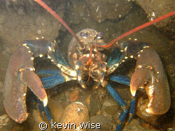Lobster taken at South Gare west end of Coatham Sands nea... by Kevin Wise