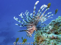 Lionfish in blue (Pterois miles) by Beatrice Primatesta