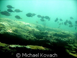 Surgeon fish on the inside reef at Lauderdale by the Sea by Michael Kovach