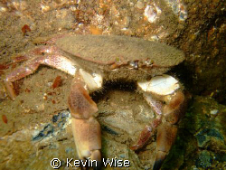 crab,  at South Gare west end of Coatham Sands near Redcar by Kevin Wise