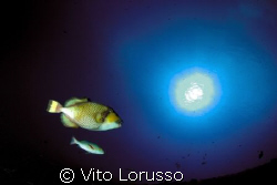 Fishs - Balistoides Viridescens by Vito Lorusso
