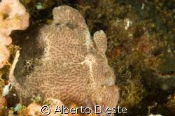 Frogfish Porto Galera by Alberto D'este