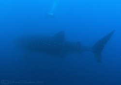 Whale shark. Wolf island. Galapagos. S5 PRO, 10.5mm. by Derek Haslam