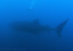 Whale shark. Wolf island. Galapagos. S5 PRO, 10.5mm. by Derek Haslam