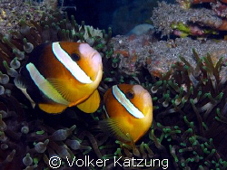 Clownfishes by Volker Katzung