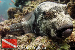 Puffer Posey... it seems enjoying to pose in front of the... by Abbe Bglcsa