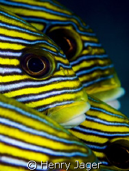 """""""Eyes and Stripes""""    Raja Ampat, West-Papua (Macro lens ... by Henry Jager"""