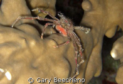Spider Crab by Gary Beecheno