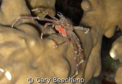 Spider Crab by Gary Beecheno