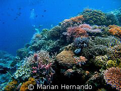 Coral Garden, Bunaken, Indonesia, using Olympus CW8080 wi... by Marian Hernando
