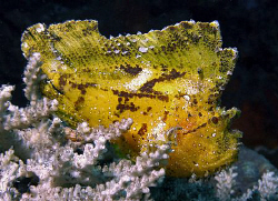 Leaf scorpionfish, Tulamben by Doug Anderson