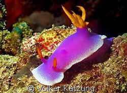 Nudibranch by Volker Katzung