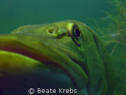 From a different angle, northern pike with Canon S70 and ... by Beate Krebs