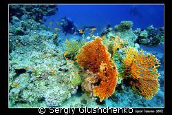 Fire corals by Sergiy Glushchenko