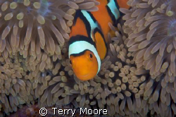 Percula Anenme fish watching over her eggs image taken at... by Terry Moore