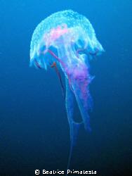 Jellyfish by Beatrice Primatesta
