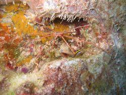 Arrow Crab on the USS Spiegel Grove by Trevor Knight