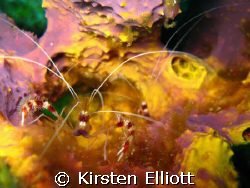 coral banded shrimp by Kirsten Elliott