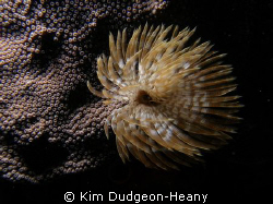 Feather duster. Taken free-diving with an Olympus 7070 an... by Kim Dudgeon-Heany