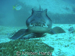 a Port Jackson Shark poses for the camera. So cute. My w... by Kristen Hardy