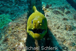 Green Moray eel on the wreck of the Sea Emperor in S. Flo... by Michael Schlenk