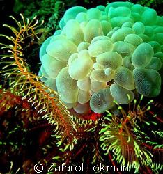 Coral  by Zafarol Lokman