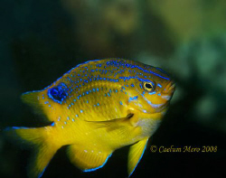 This beautiful fish was photographed in the temperate wat... by Cal Mero