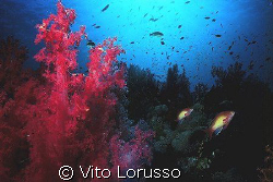 Corals - Dendronephthya Sp. by Vito Lorusso