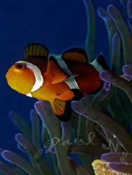 common clown fish  by Paul Ng