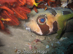 Puffer Fish by Jessica Hugo