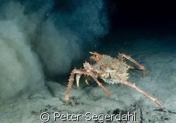 """Silt attack!"" Lithodes maja - Northern stone crab (Deep... by Peter Segerdahl"
