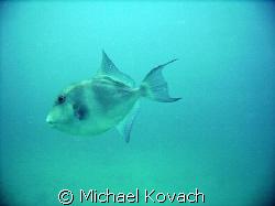 Trigger Fish on the third reef line off Hillsboro Beach by Michael Kovach