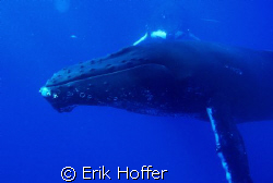humpback whale by Erik Hoffer