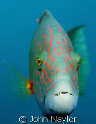 abudjubbe wrasse. by John Naylor