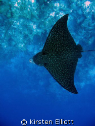 eagle ray by Kirsten Elliott