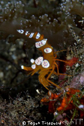 Squat Anemone Shrimp, taken at Manado, Indonesia by Teguh Tirtaputra