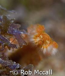 Bearded Fireworm Eastern Dry Rocks, Key West, FL  by Rob Mccall