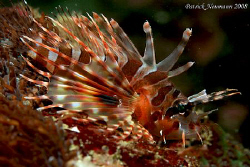 Baby Lionfish just a few centimeter big. Never saw this s... by Patrick Neumann