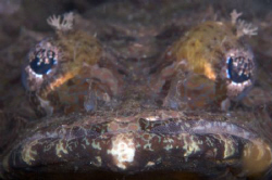 Crocodile Fish head on, taken at Tufi Dive Resort by Terry Moore