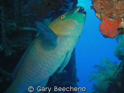 Parrot Fish having dinner by Gary Beecheno