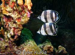 Two Banded Butterfly fish swimming in unison by Tyler Kukla