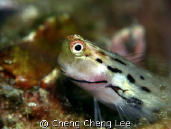 Goby by Cheng Cheng Lee