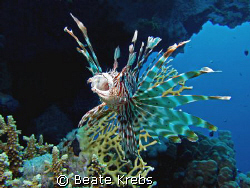 Lionfish yawns during  my early morning dive, canon S70 w... by Beate Krebs