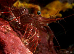 Dancing Shrimp Eye to Eye!!! Taken with Canon 400D in Mya... by Patrick Neumann