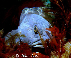 A wolf fish from Saltstraumen .That is north of the polar... by Vidar Aas