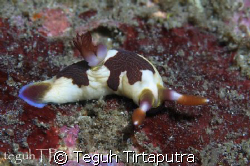 Nembrotha chamberlaini, captured at Sanghyang Island, Ban... by Teguh Tirtaputra