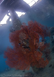 Sea fan under KBR jetty.Lembeh straits. D200, 10.5mm. by Derek Haslam