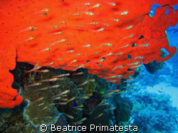 Glass fishes and red sponge  by Beatrice Primatesta